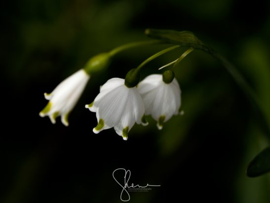 Leucojum vernum or Spring Snowflake